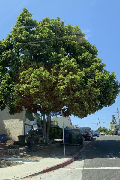 Fiddle-leaf tree