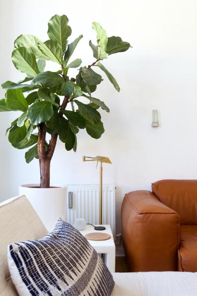 Fiddle-leaf fig pot plant