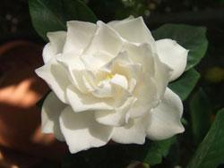 Gardenia magnifica 140mm
