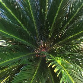 Ferns Palms Cycads