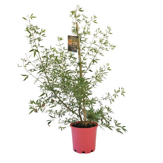 Ceratopetalum gummiferum (NSW Christmas Bush) 200mm