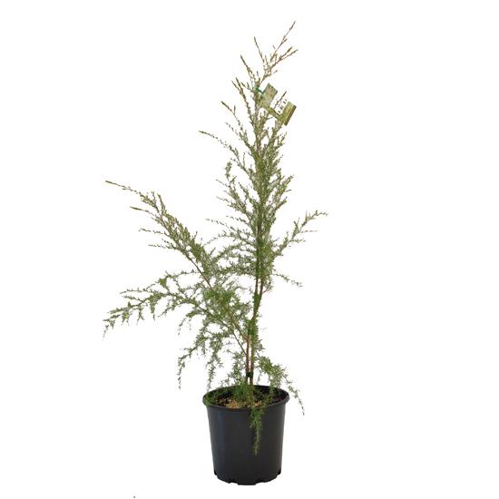 Leptospermum 'Cardwell' 200mm