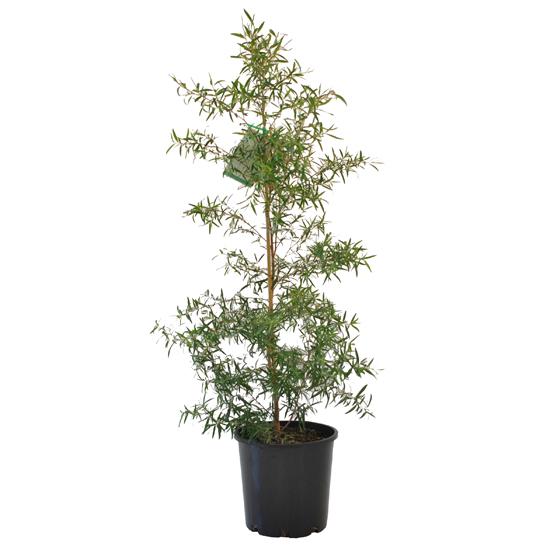 Leptospermum petersonii 200mm