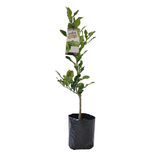 Lime - Kaffir 5L