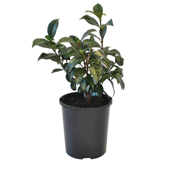 Trachelospermum jasminoides 140mm