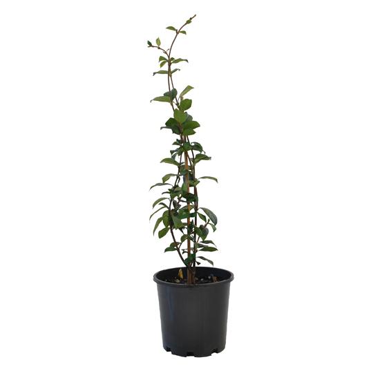 Trachelospermum jasminoides 200mm