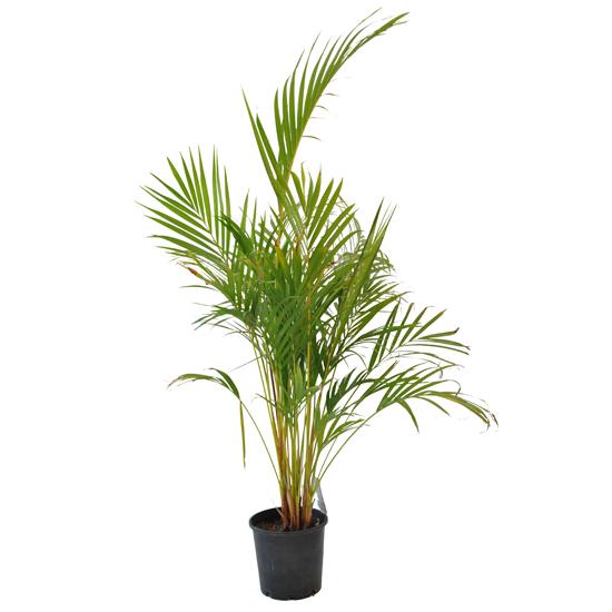 Golden Cane Palm 200mm