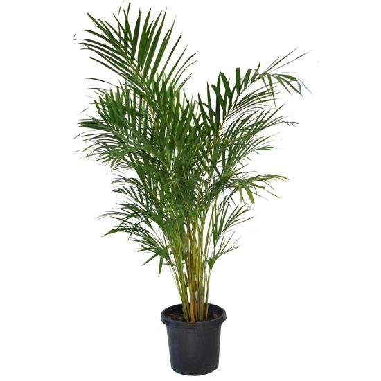Golden Cane Palm 300mm