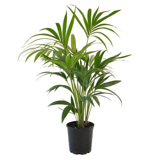Kentia Palm 200mm