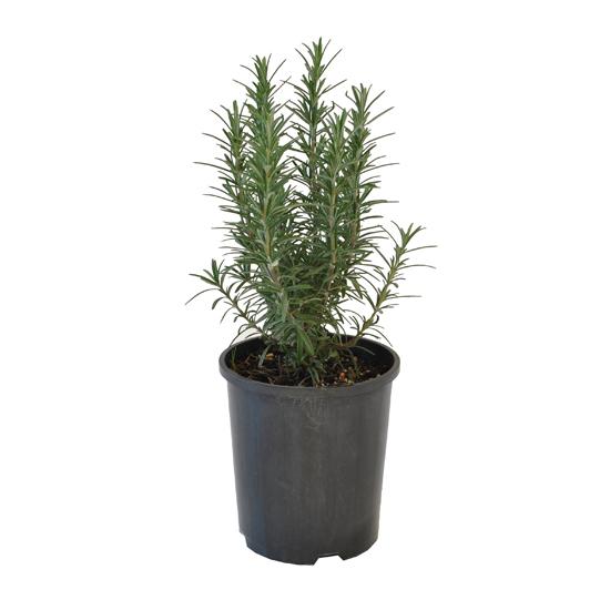 Rosemary 140mm