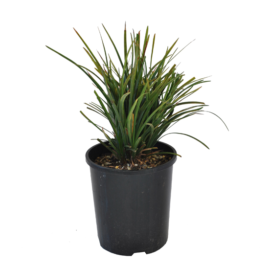 Liriope Evergreen Giant 140mm