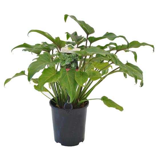 Philodendron Xanadu 140mm