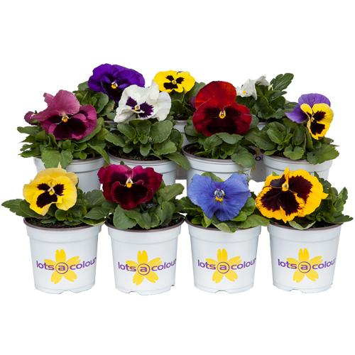 Potted Colour (5 plant deal)