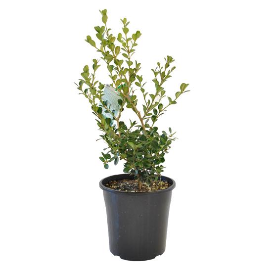 Buxus japonica 200mm