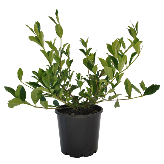Gardenia florida 200mm