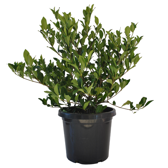 Gardenia florida 300mm