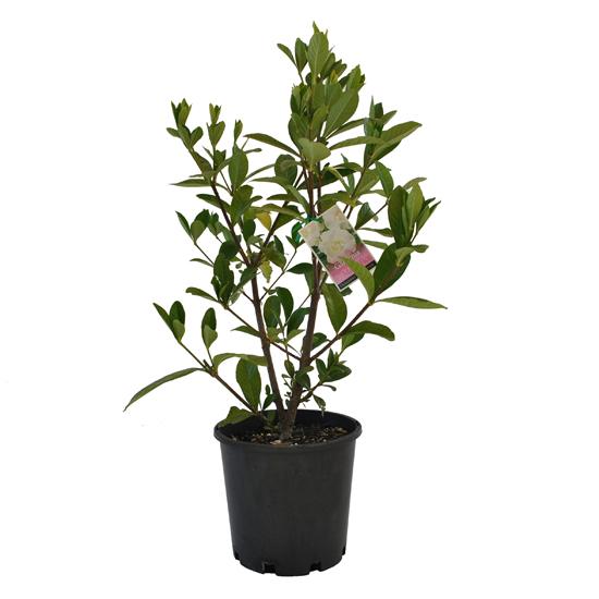 Gardenia magnifica 200mm