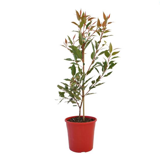 Eucalyptus 'Dwarf Red' 200mm