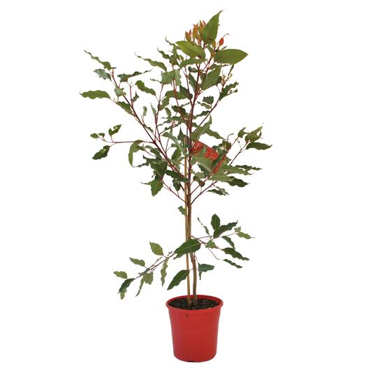 Eucalyptus 'Wildfire' 200mm