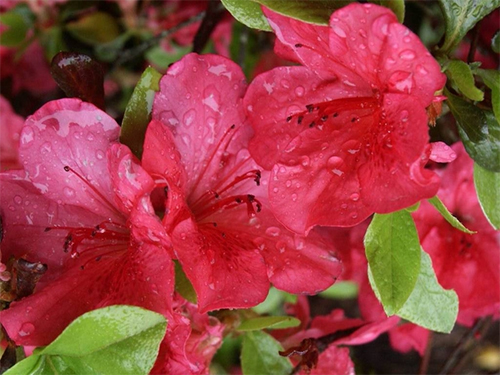 How to plant and grow Azaleas