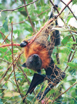 Flying-fox caught in netting