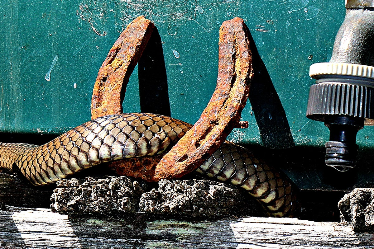 Snakes are shy and reclusive