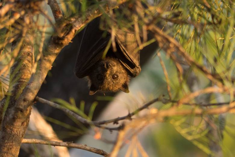 Flying-Foxes are in Trouble