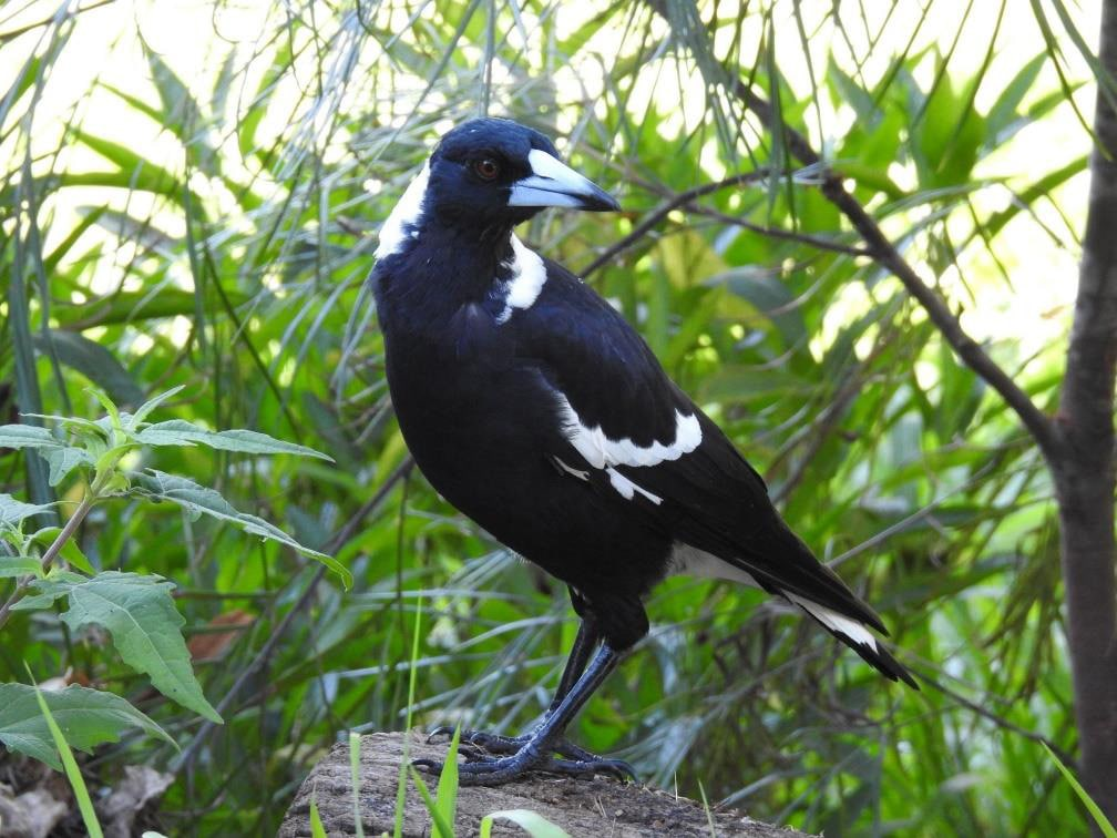 Swooping Magpies