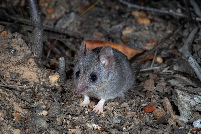 New Kangaroo Island wildlife refuge launched to protect Australia's most endangered mammal and support bushfire recovery