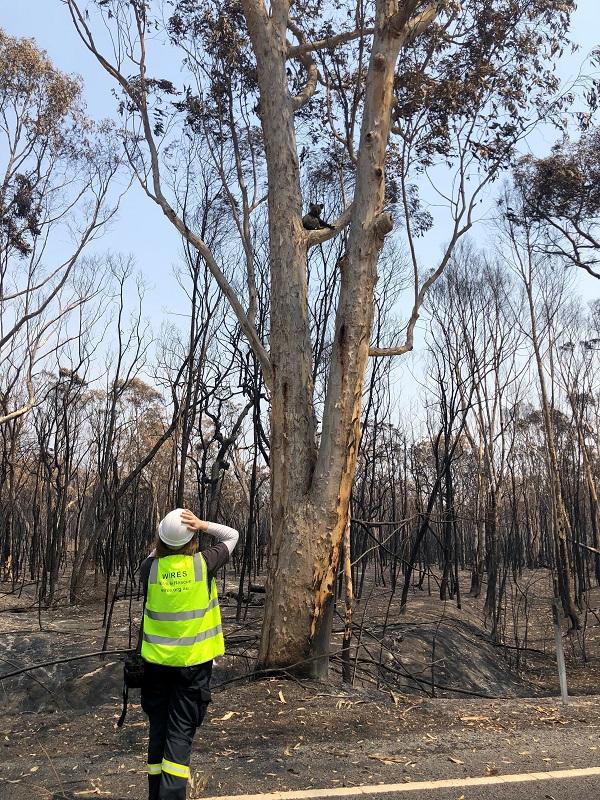 Koala Rescued from Tragic Fires