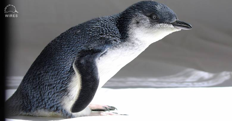 Little Penguin released from care after falling from the sky at Walkers Beach, Gerroa