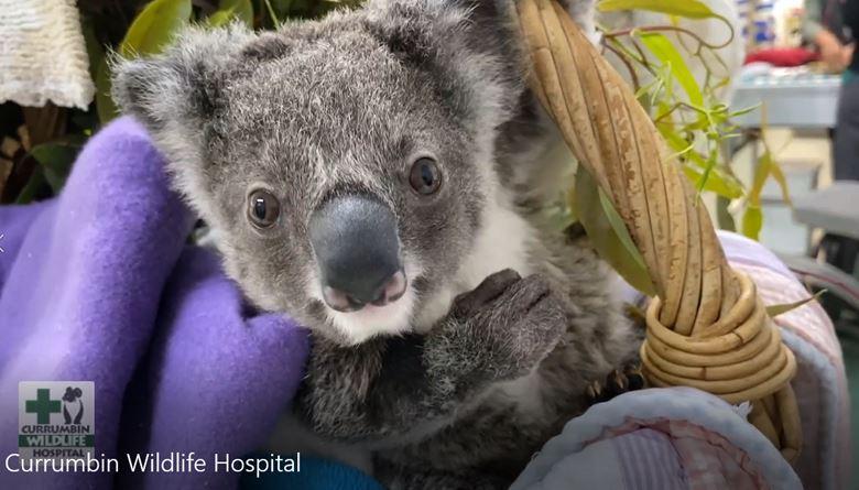 WIRES Partner with Currumbin Wildlife Hospital to Help Wildlife