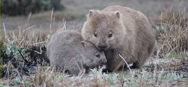 2022 Wombat Day Announcement