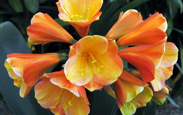 a dahlia flower