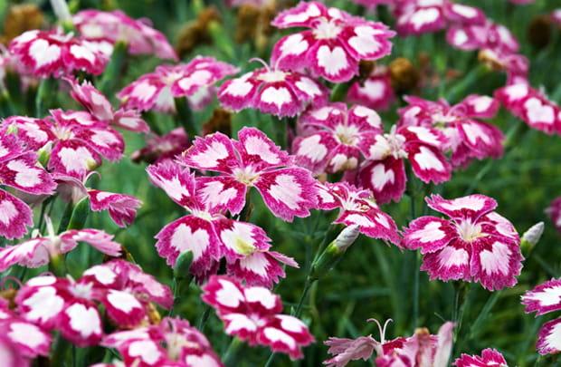 dianthas flower heads