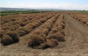 field of sweetpeas