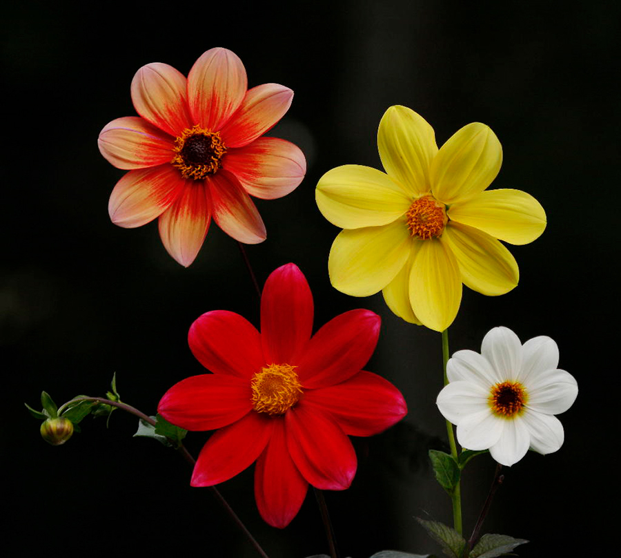 Dahlia Sunflowers
